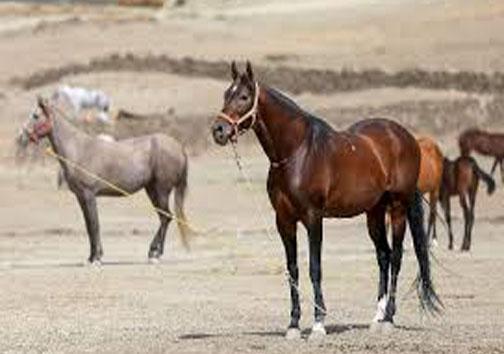 خراسان شمالی اصلی ترین ذخیره گاه ژنتیک اسب اصیل ترکمن در ایران و دنیا