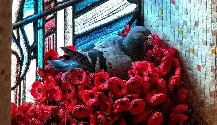 ماجرای جالب یک کبوتر در بنای یادبود جنگ استرالیا ، تصاویر