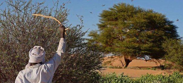 خبرنگاران سازمان ملل: هجوم ملخ ها همچنان امنیت غذایی آفریقا را تهدید می کند