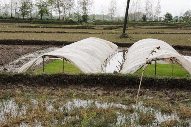 خبرنگاران شالیکاران آستارا مراقب سرمازدگی خزانه های برنج باشند