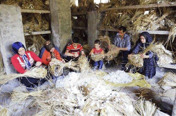 رشد 2 برابری برداشت پیله کرم ابریشم در جنوب کرمان