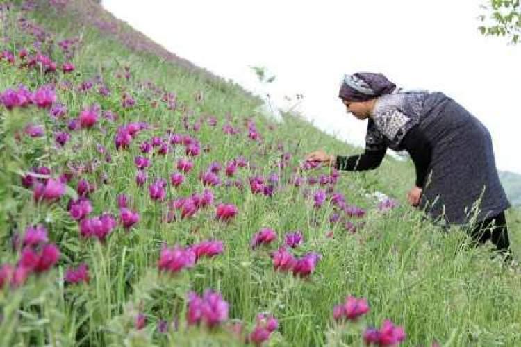 رویشگاهی سازگار برای گونه های متنوع گیاهان دارویی